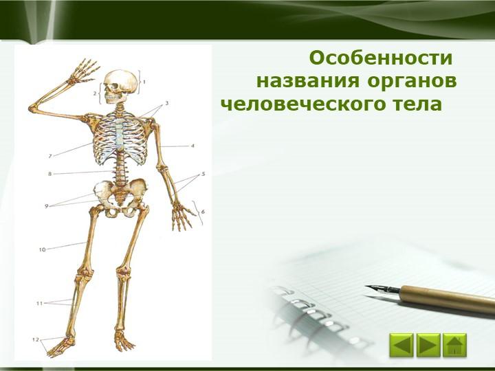 Особенности названия органовчеловеческого телаCompany Logo