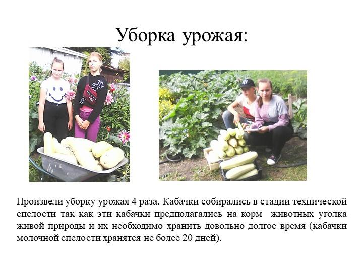 Уборка урожая:Произвели уборку урожая 4 раза. Кабачки собирались в стадии тех...