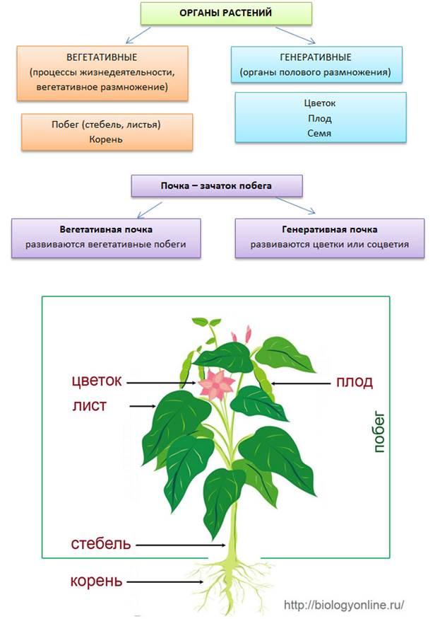 http://biologyonline.ru/images/organi.jpg