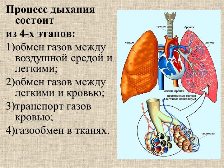 Процесс дыхания состоитиз 4-х этапов: обмен газов между воздушной средой и...