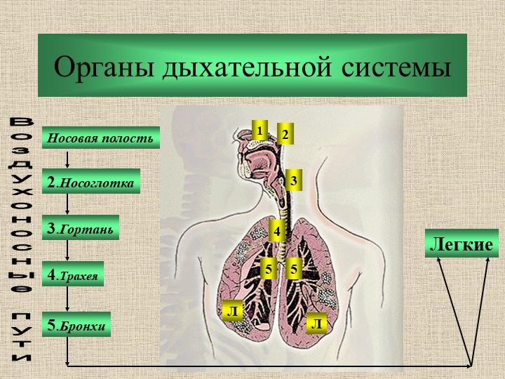 Органы дыхательной системыНосовая полость2.Носоглотка3.Гортань5.Бронхи4.Трахе...