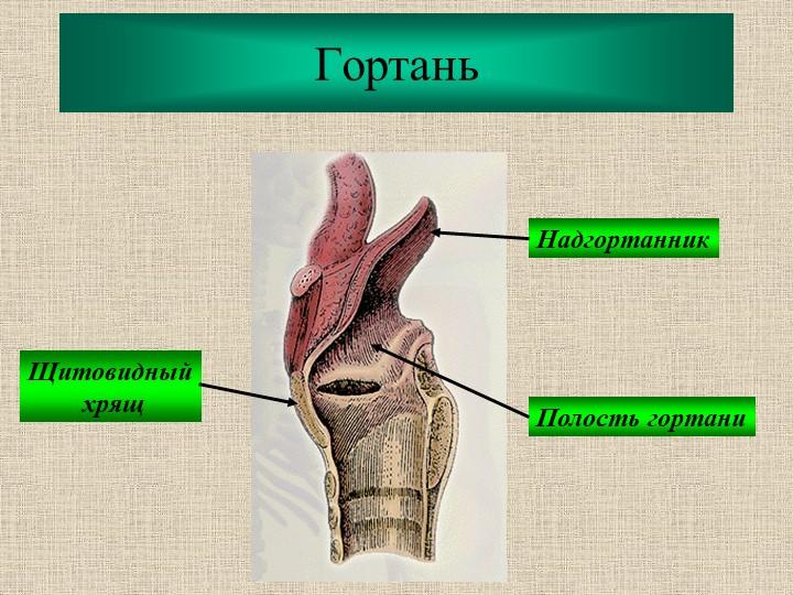 ГортаньНадгортанникЩитовидный хрящПолость гортани