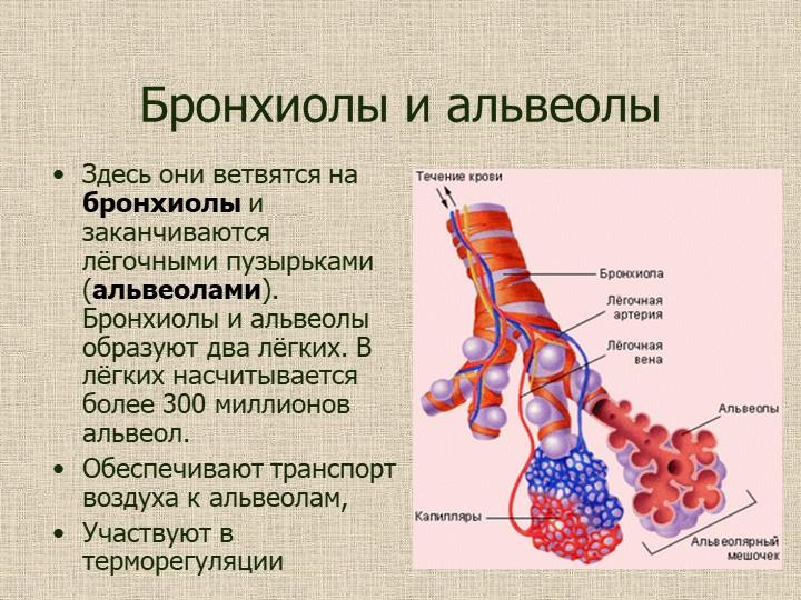 Бронхиолы и альвеолыЗдесь они ветвятся на бронхиолы и заканчиваются лёгочными...