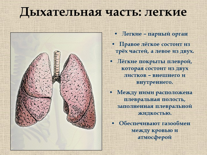 Дыхательная часть: легкиеЛегкие – парный органПравое лёгкое состоит из трёх...
