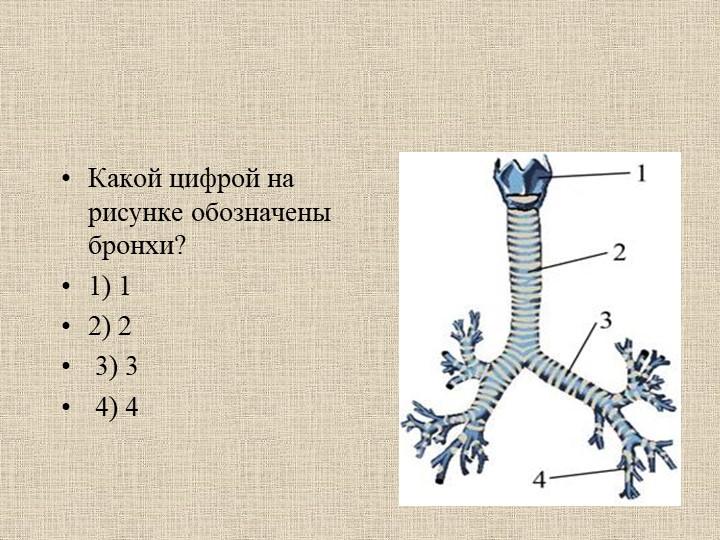 Какой цифрой на рисунке обозначены бронхи? 1) 12) 23) 3 4) 4