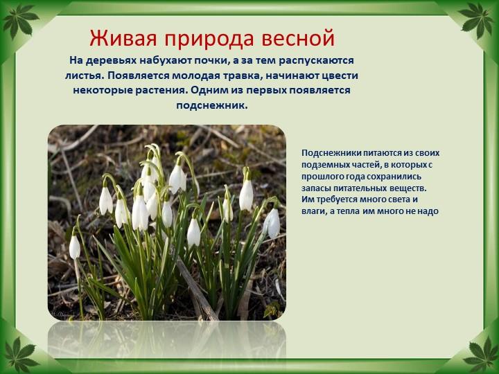 Живая природа веснойНа деревьях набухают почки, а за тем распускаются листья...