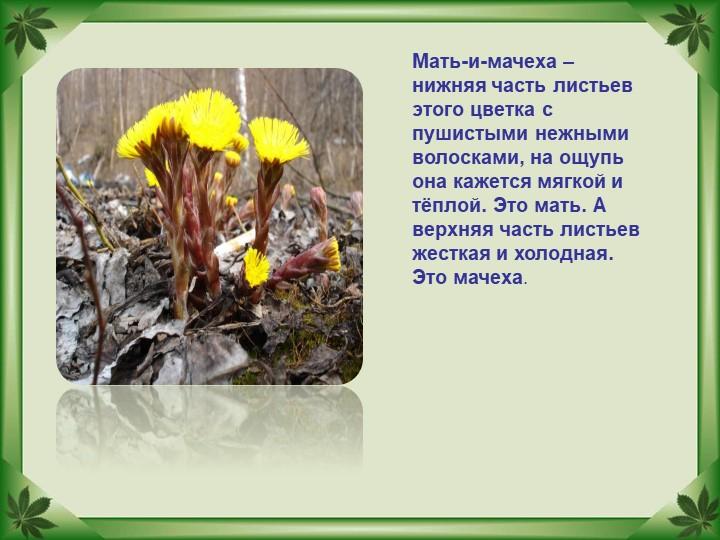 Мать-и-мачеха – нижняя часть листьев этого цветка с  пушистыми нежными волоск...