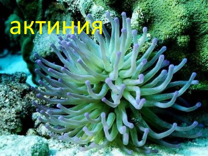 актиния