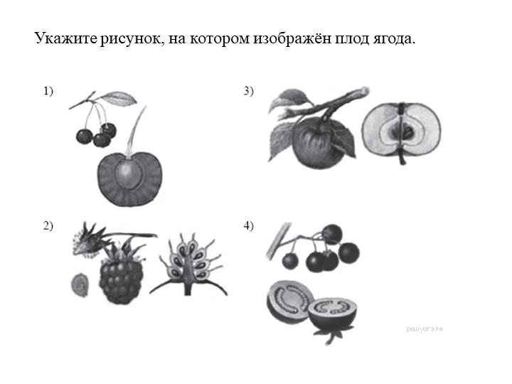 Укажите рисунок, на котором изображён плод ягода.