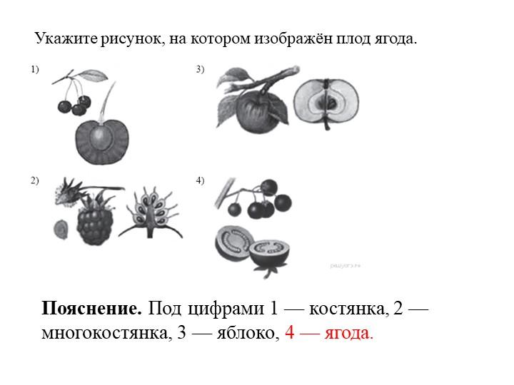 Укажите рисунок, на котором изображён плод ягода.   Пояснение. Под цифрами 1...