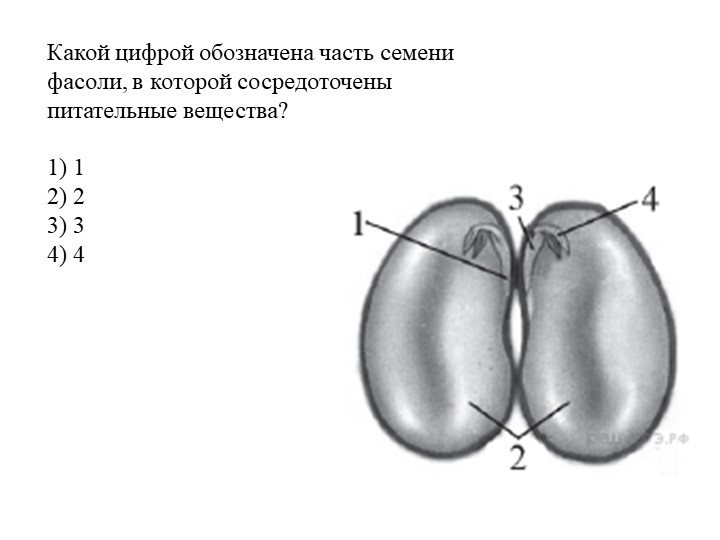 Какой цифрой обозначена часть семени фасоли, в которой сосредоточены питатель...