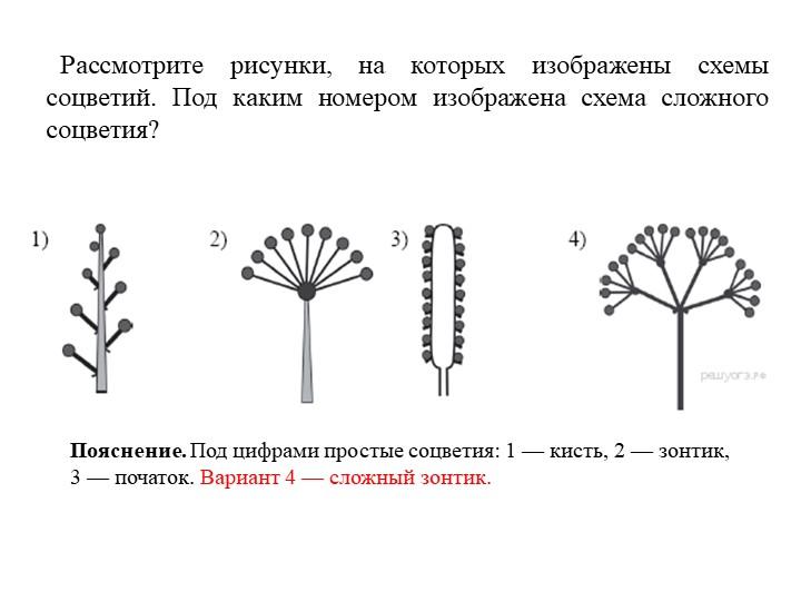 Рассмотрите рисунки, на которых изображены схемы соцветий. Под каким номером...