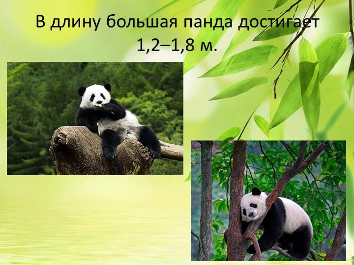 В длину большая панда достигает 1,2–1,8м.