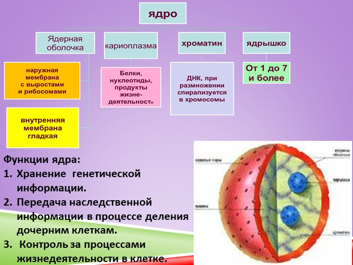 Функции ядра:Хранение  генетической информации.Передача наследственной инф...