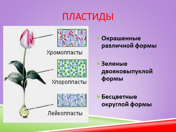 ПластидыОкрашенные   различной формыЗеленые   двояковыпуклой формыБесцве...