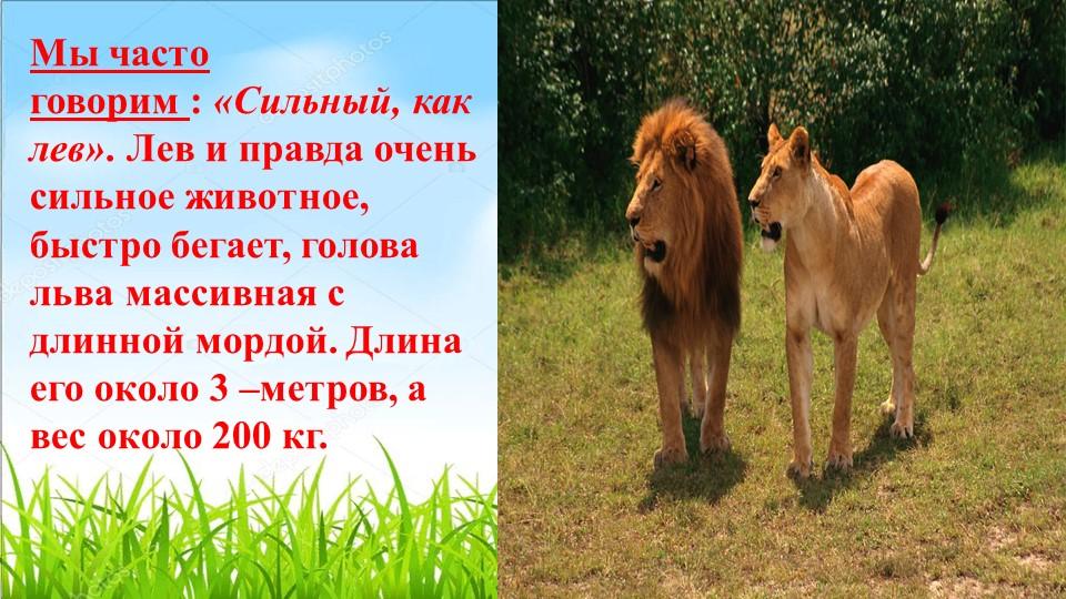 Мы часто говорим:«Сильный, как лев». Лев и правда очень сильноеживотное, б...