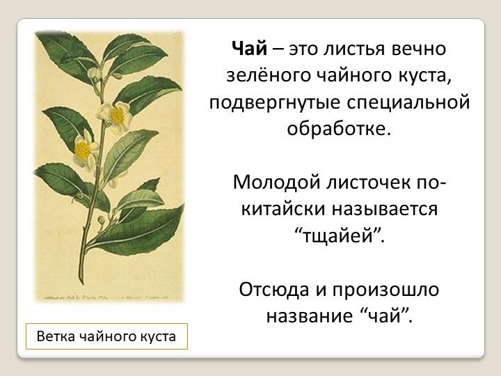 Ветка чайного кустаЧай – это листья вечно зелёного чайного куста, подвергнуты...