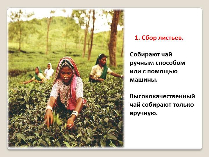 Собирают чай ручным способом или с помощью машины. Высококачественный чай с...