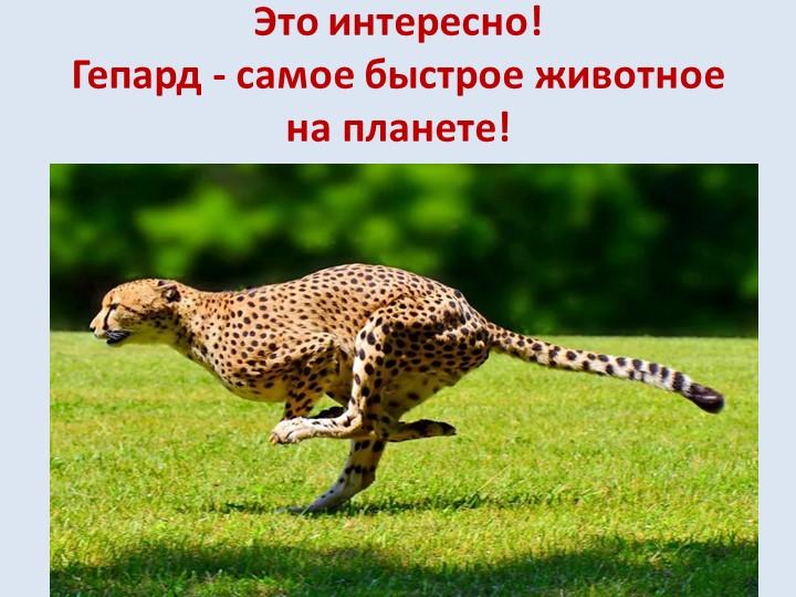 Это интересно!Гепард - самое быстрое животное на планете!Гепард - это самый...