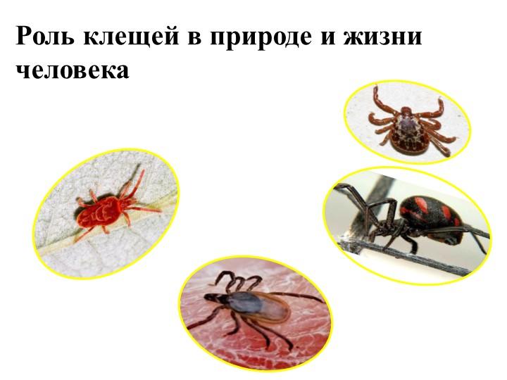 Роль клещей в природе и жизни человека«Отдельные представители отряда клещей»