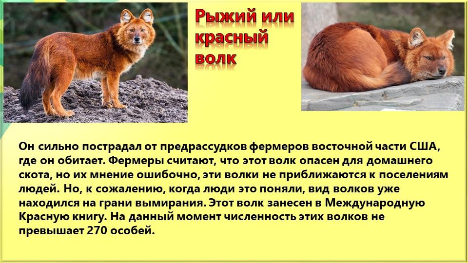 Рыжий или красный волкОн сильно пострадал от предрассудков фермеров восточной...