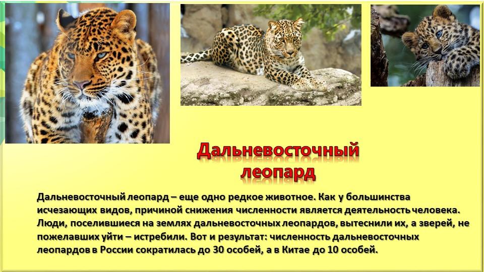 Дальневосточный леопардДальневосточный леопард – еще одно редкое животное. Ка...
