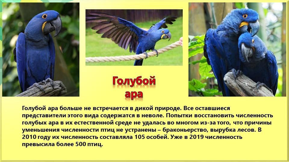 Голубой араГолубой ара больше не встречается в дикой природе. Все оставшиеся...