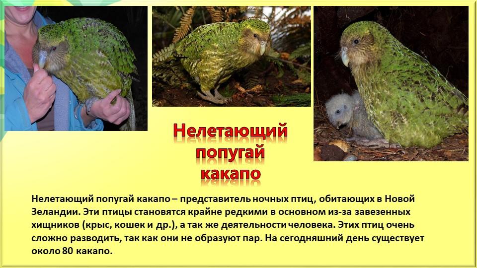 Нелетающий попугай какапоНелетающий попугай какапо – представитель ночных пти...