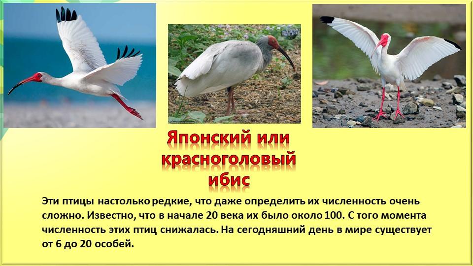 Японский или красноголовый ибисЭти птицы настолько редкие, что даже определит...