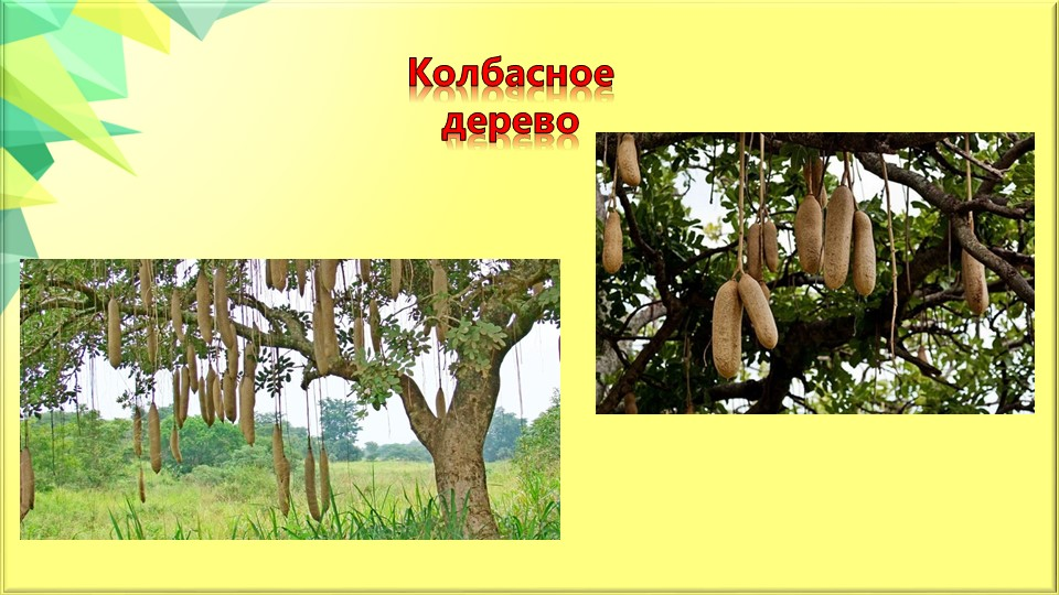 Колбасное дерево
