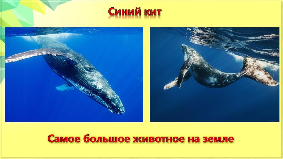 Синий китСамое большое животное на земле