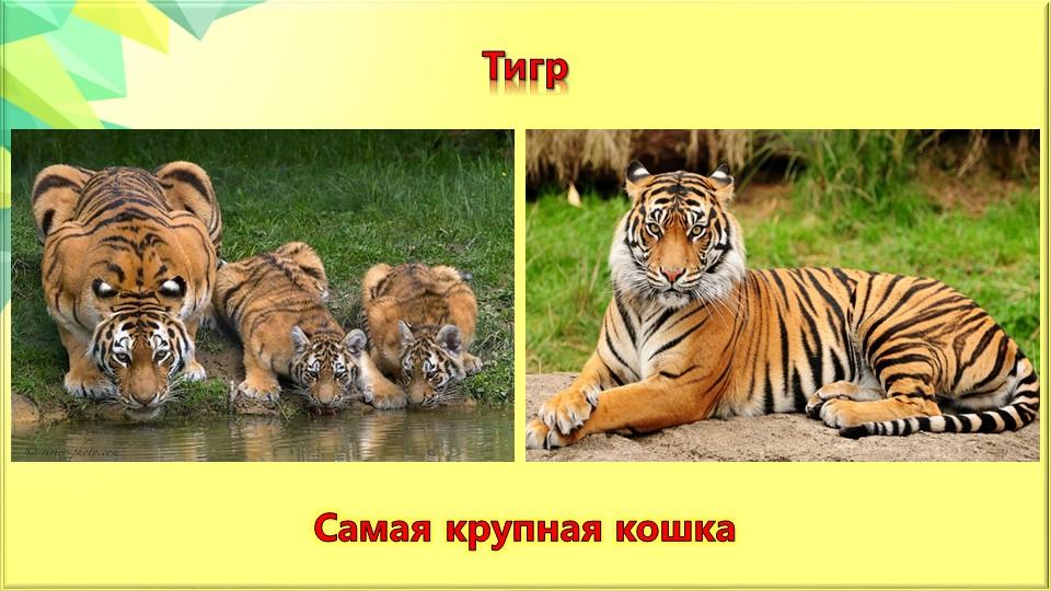 ТигрСамая крупная кошка