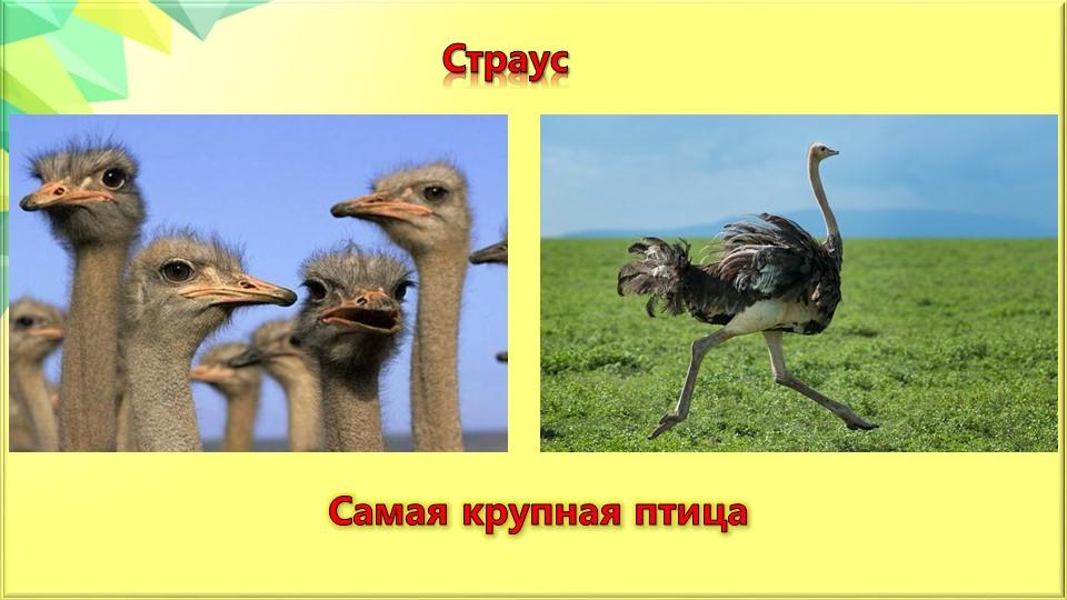 СтраусСамая крупная птица