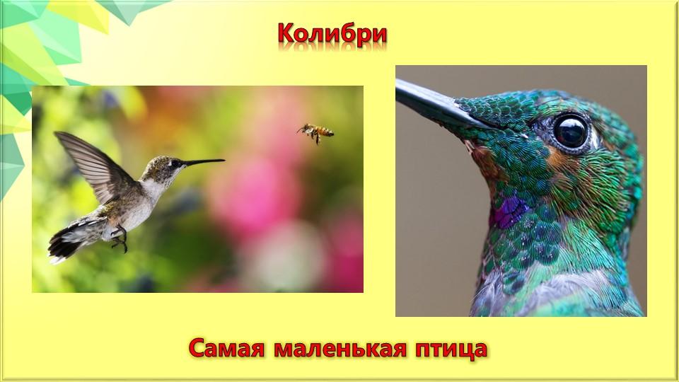 КолибриСамая маленькая птица