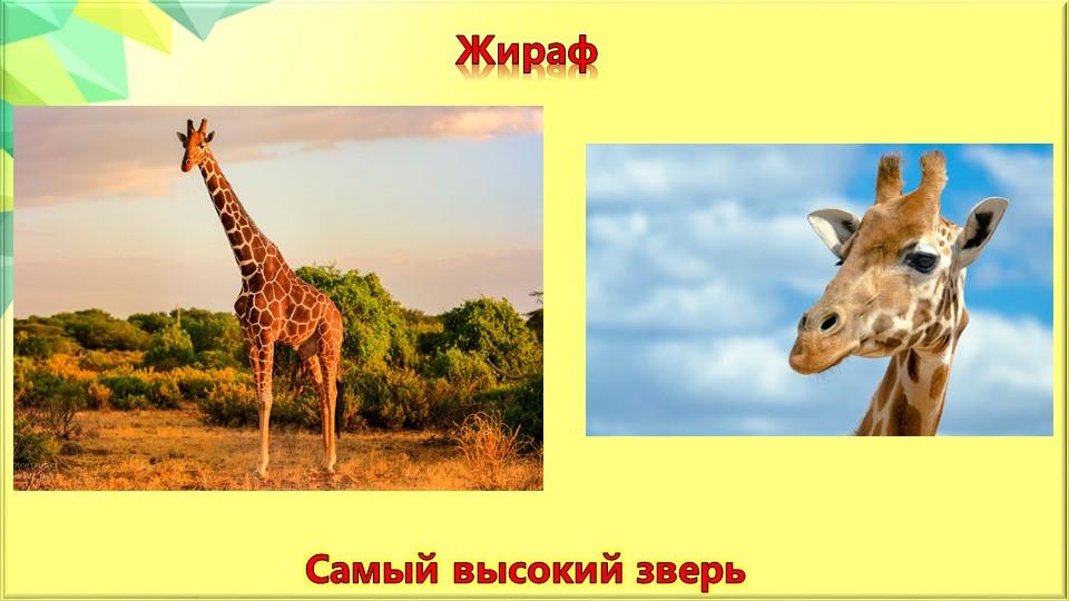 ЖирафСамый высокий зверь