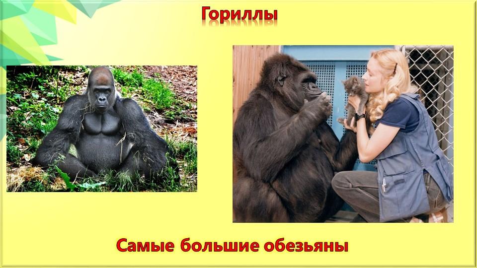 Гориллы Самые большие обезьяны