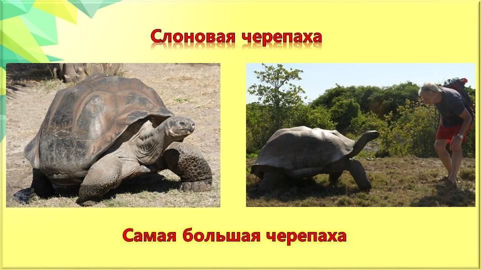Слоновая черепахаСамая большая черепаха