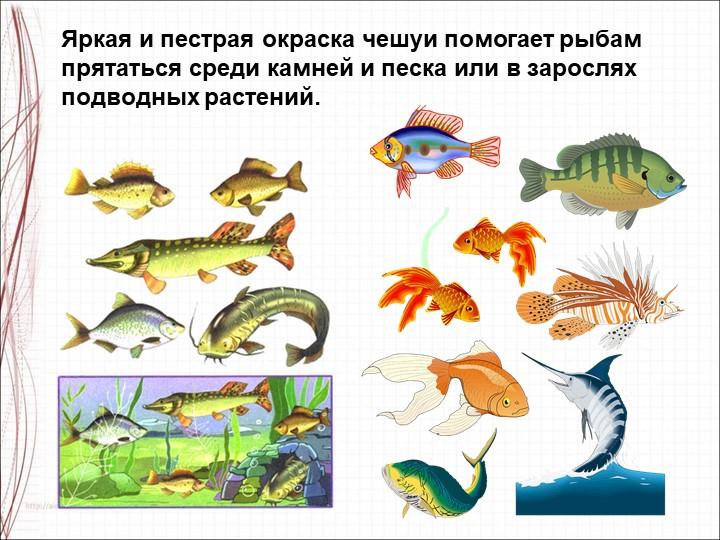 Яркая и пестрая окраска чешуи помогает рыбам прятаться среди камней и песка и...