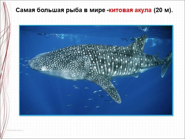 Самая большая рыба в мире -китовая акула (20 м).