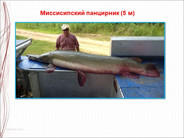 Миссисипский панцирник (5 м)