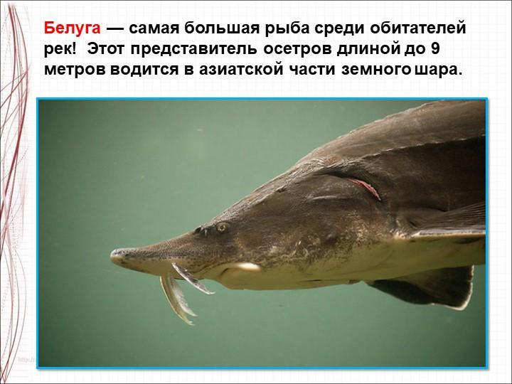 Белуга — самая большая рыба среди обитателей рек! Этот представитель осетров...