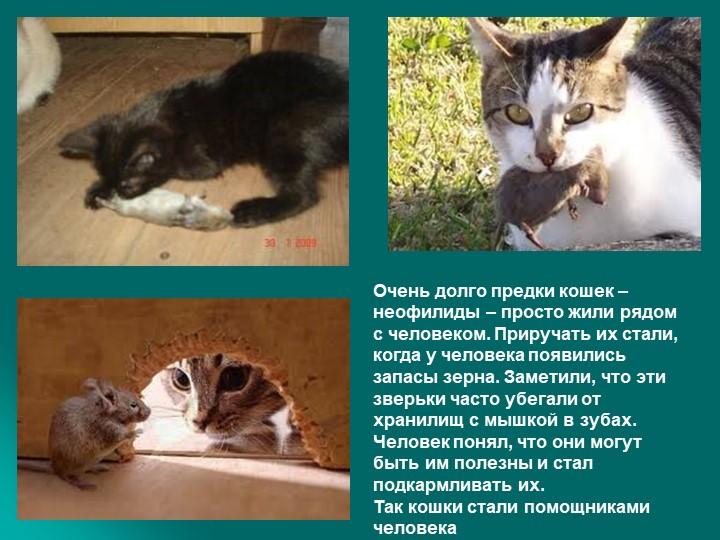 Очень долго предки кошек – неофилиды – просто жили рядом с человеком. Прируча...