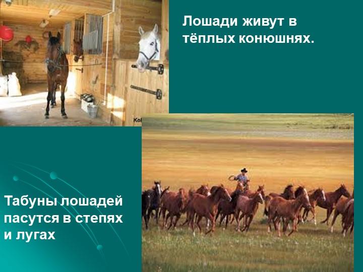Лошади живут в тёплых конюшнях.Табуны лошадей пасутся в степях и лугах