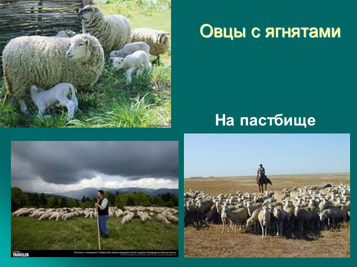 Овцы с ягнятамиНа пастбище