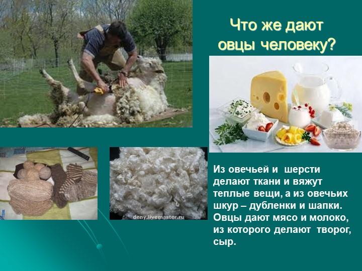 Что же дают овцы человеку? Из овечьей и  шерсти делают ткани и вяжут теплые в...