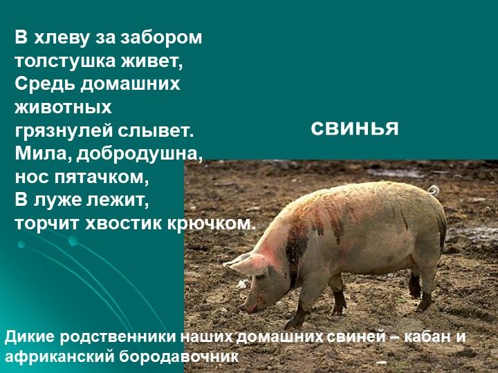 В хлеву за заборомтолстушка живет,Средь домашних животныхгрязнулей слывет....