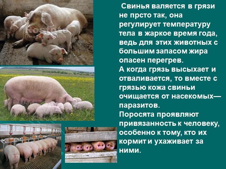 Свинья валяется в грязи не прсто так, она регулирует температуру тела в жарк...