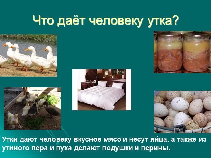 Что даёт человеку утка?Утки дают человеку вкусное мясо и несут яйца, а также...
