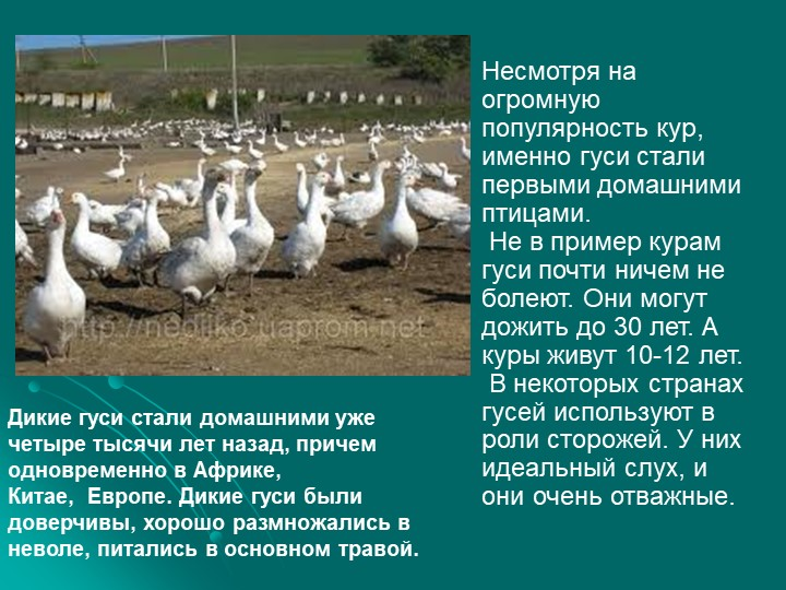 Несмотря на огромную популярность кур, именно гуси стали первыми домашними пт...