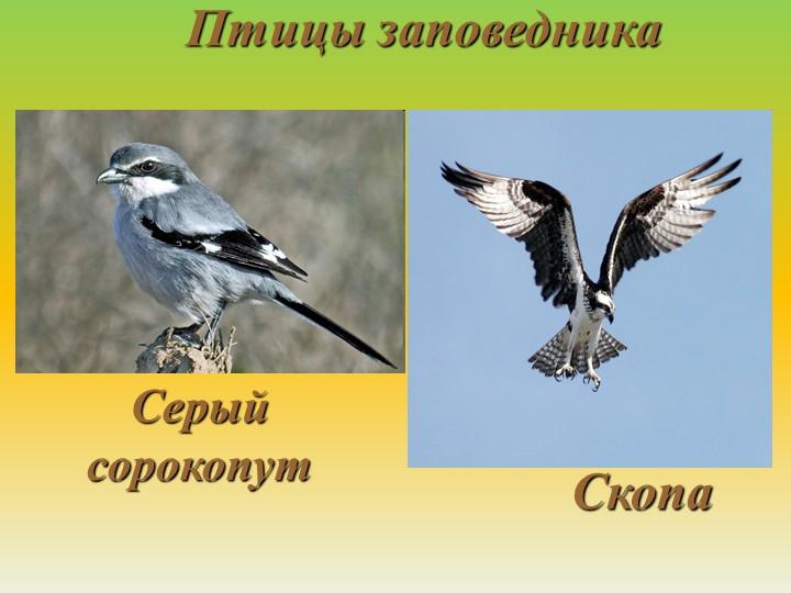 Птицы заповедникаСкопаСерый сорокопут